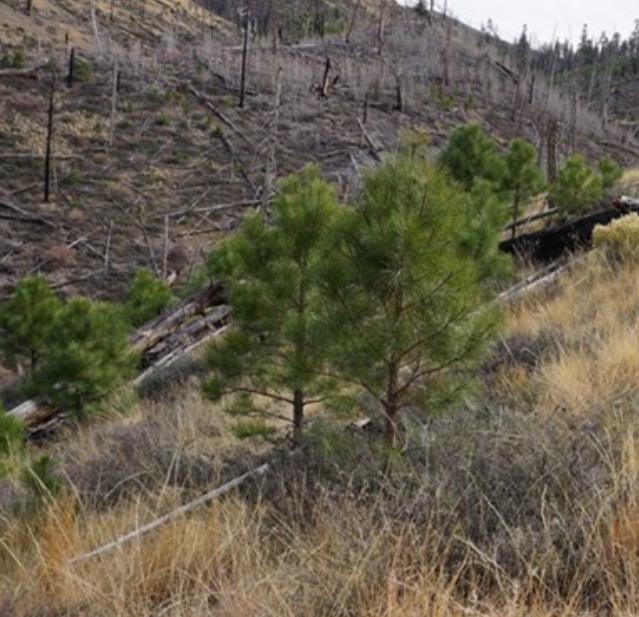 Regenerating Ponderosa Pine
