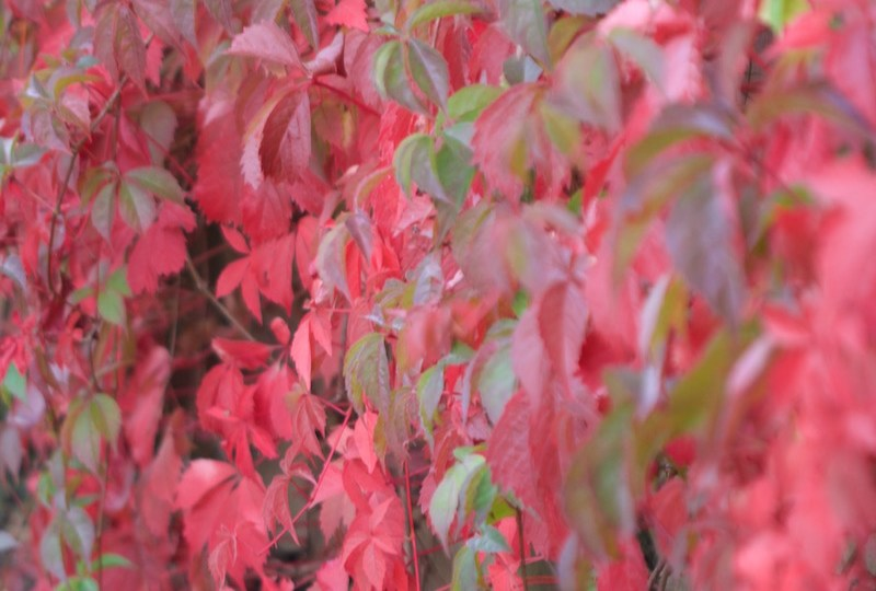 autumn virginia creeper