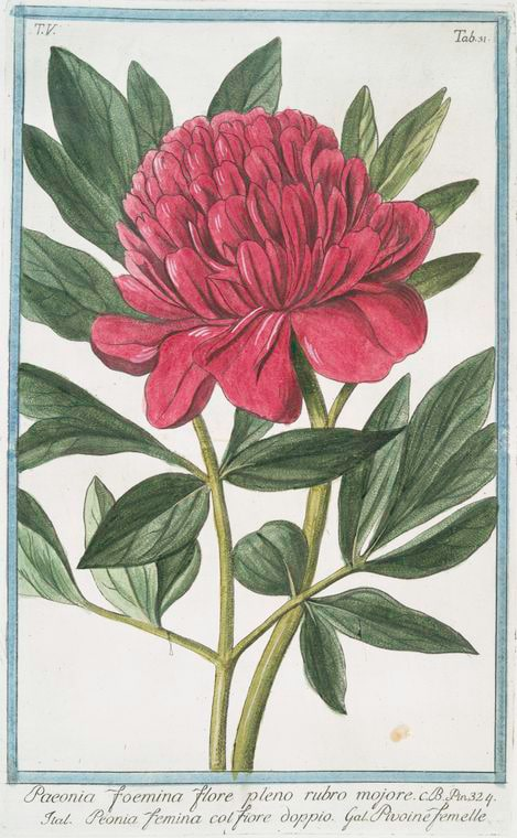 Vintage Peony Illustration from the New York Public Library featured on WildflowersAndWanderlust.com
