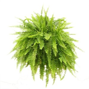 Boston Fern Indoor Houseplant