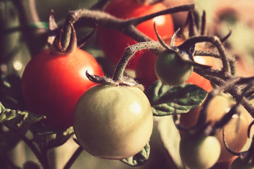 best tomato growing tips