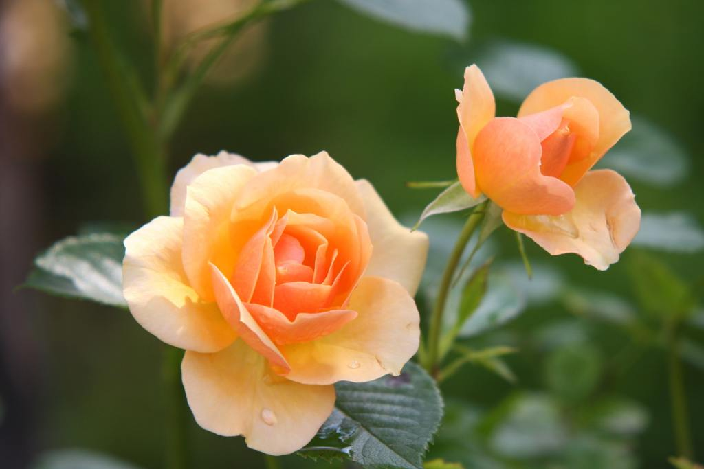 8 secrets to grow fabulous roses