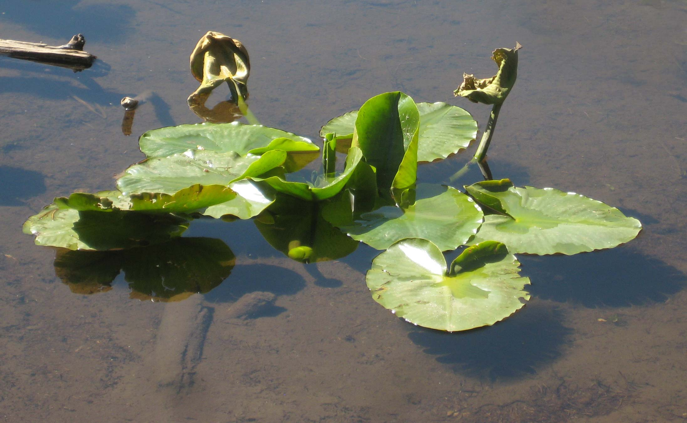 Deep Water Pond Plants