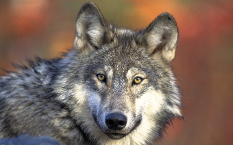 wolf-wolves-32863728-2560-1600