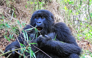 Female Gorilla of Rwanda