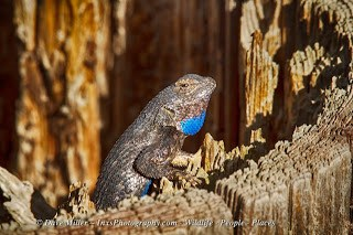 Western fence lizard sitting on a post