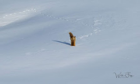 Fox diving into the snow
