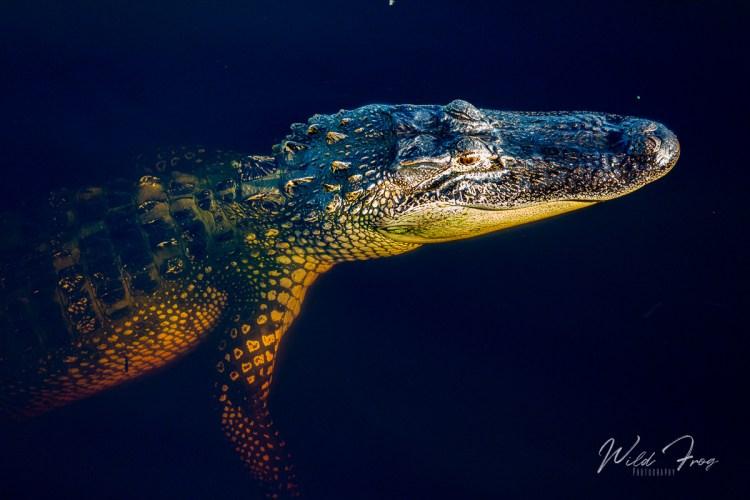 American Alligator floating on surface Bluffton South Carolina near Hilton Head Island.