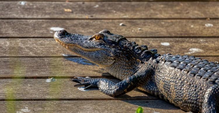 Alligator sun baking on a dock in Palmetto Bluff South Carolina