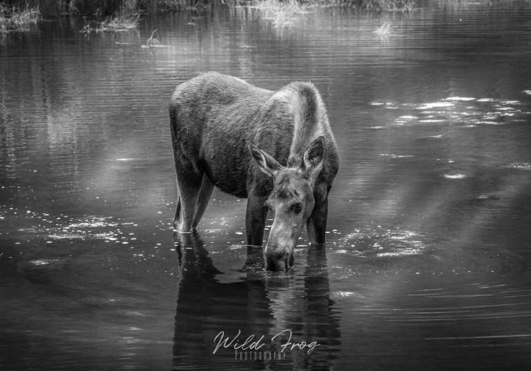 Moose feeding cottonwood lake Colorado USA