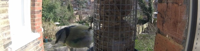 Blue tit on our bird cam!