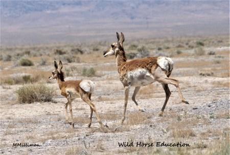 Momma and BABY antelope WM