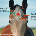 Captive bolt 1 WAS NOT in the article placement whole horse head