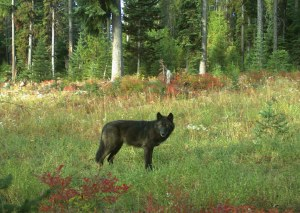 A wolf of the Wenaha Pack captured on a remote camera on U.S. Forest Service land in northern Wallowa County in September, 2018. Photo by ODFW.