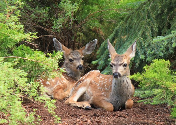 Black-tailed doe and fawn, Oxbow Regional Park. Photo by Jess Gillies.