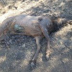 Rewarded increases to $10,000 for information on three elk poached near Bend