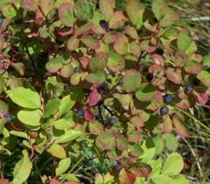 Huckleberries, rd