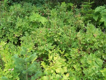 Identifying Wild Huckleberries