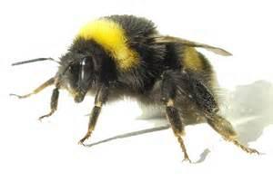 Huckleberries and Bumblebees