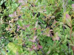 The Future of Wild Huckleberries