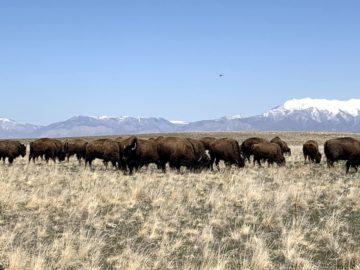 Column: The Bison of Antelope Island