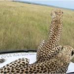 cheetahs.on.hood