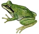 Pacific tree frog (from BC FrogWatch)