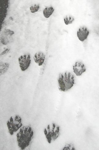 raccoon_tracks2