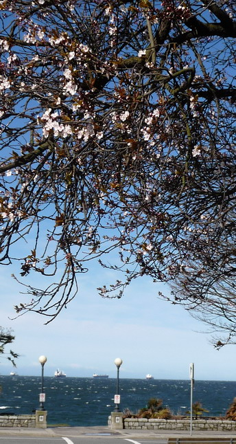blossoms_english_bay