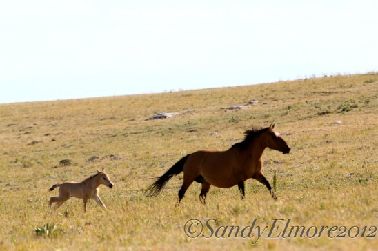 Washakie and her new filly, July 30, 2012