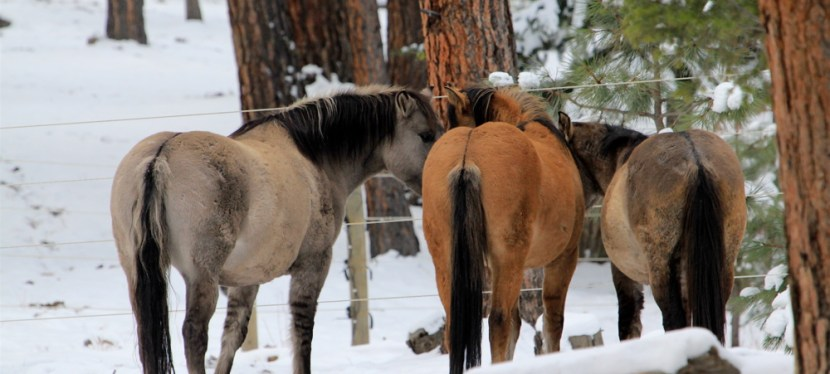 Valerosa, Kiowa and Kootenai.  An Update on 3 Pryor Horses