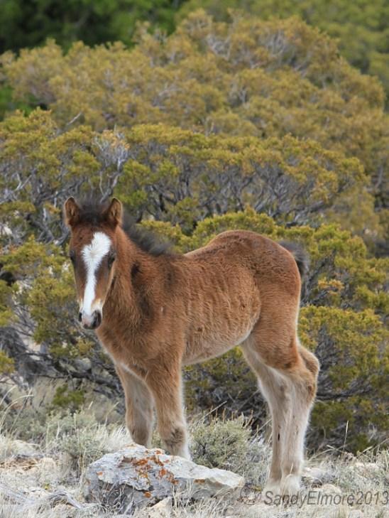 Waif and Corona's new colt, Norte, April 28, 2013