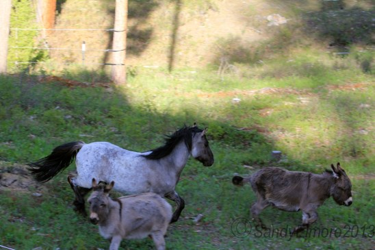 Kootenai heading down with two burro photo bombers