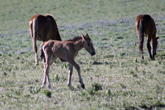 Graciana and Dukes new foal.  Photo by Linda Dombeck
