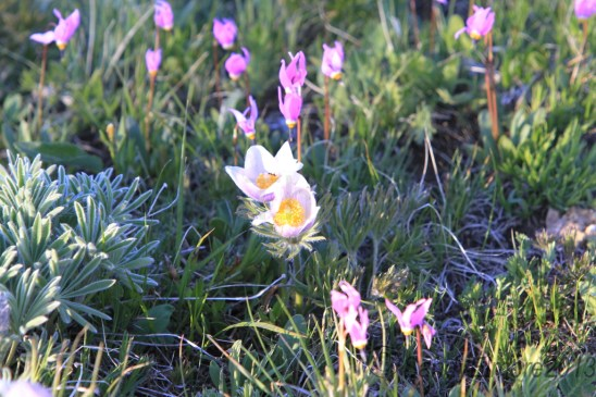 Lupine not yet in bloom, Shooting Stars and Pasque Flowers pave the way.