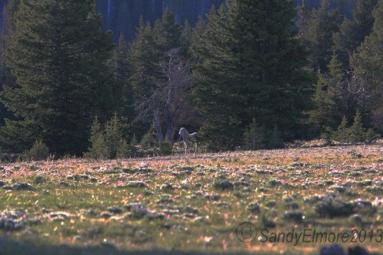 First look at Nimbus (Encore), June 16, 2013.  Can you see her past the carpet of wildflowers?