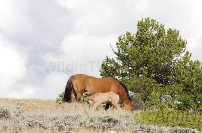 Washakie and her foal.