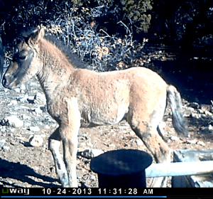 Bakken's New Foal, October 24, 2013  Photo by remote camera, NPS.