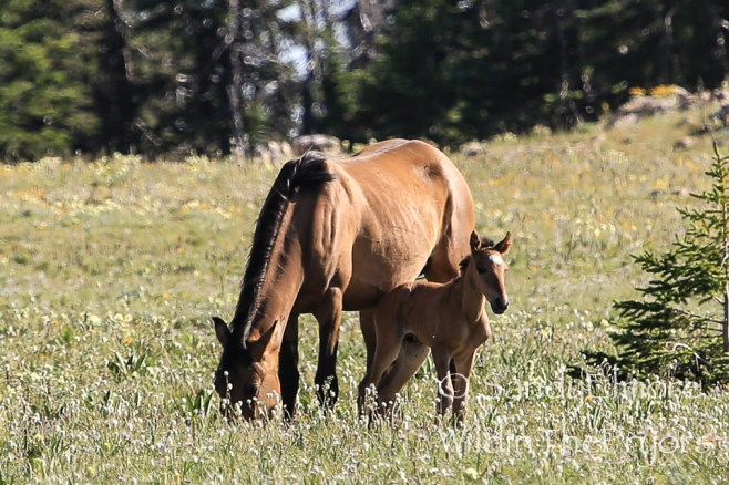 Moenkopi and her colt, Obsidian. July 13, 2014