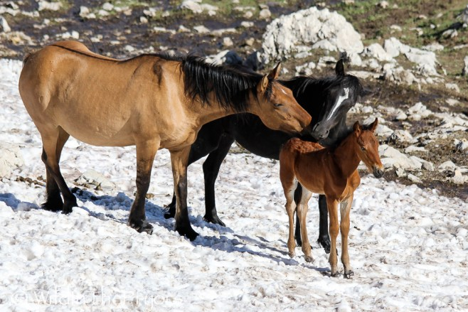 Isadora with her mom, Rosarita and her last known living foal, Lemhi, born in 2011.  This photo is from July 2011.