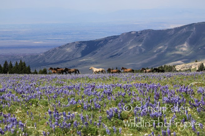 Pryor Horses running in Lupine, July 2014