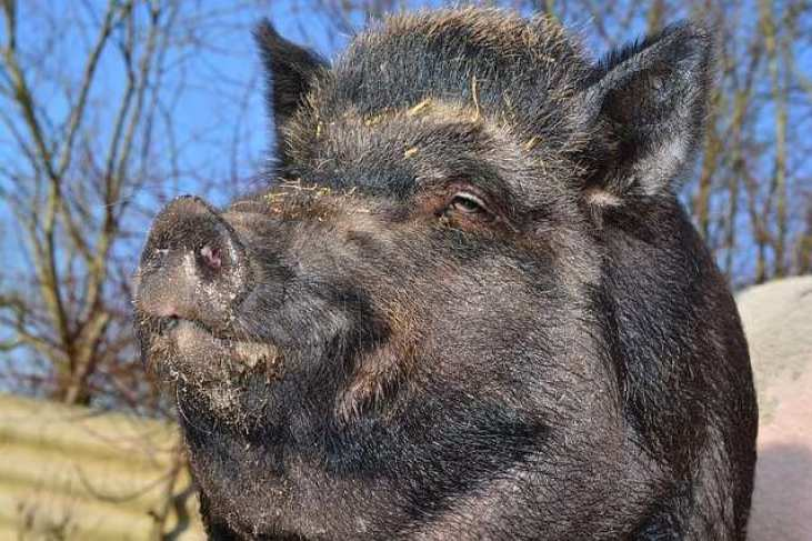 Wildschweinkopf Nahaufnahme