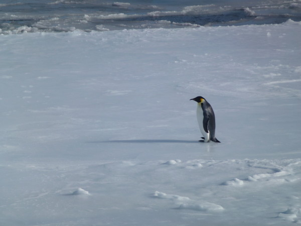 Our first Emperor Penguin on an Ice flow