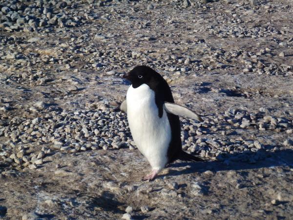 Edelie Penguin