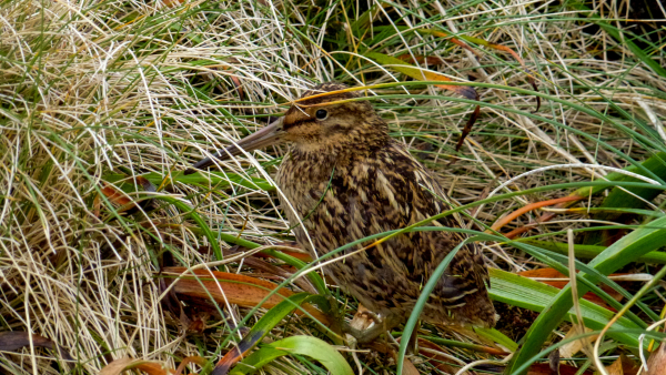 Campbell Island Snipe