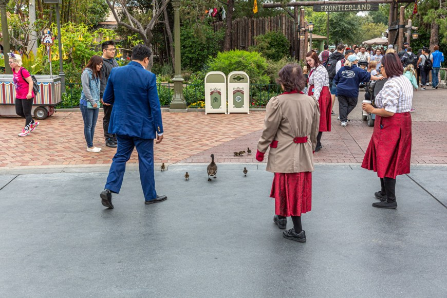 Ducks crossing the road at Disneyland