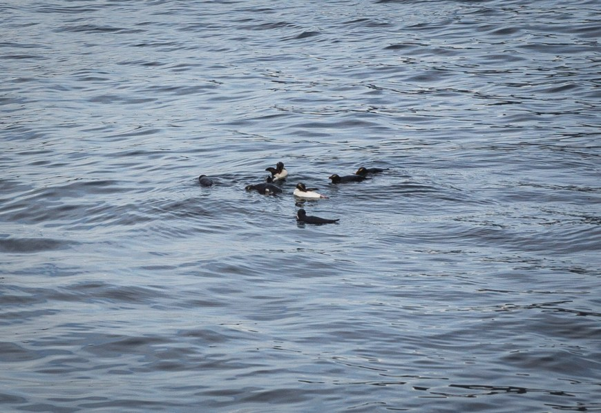 A raft of penguins on our Milford Sound cruise.
