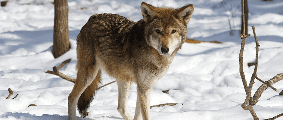 Court Orders Injunction On Harming Killing Red Wolves