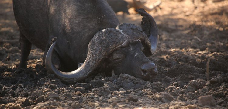 Buffalo enjoying the mud