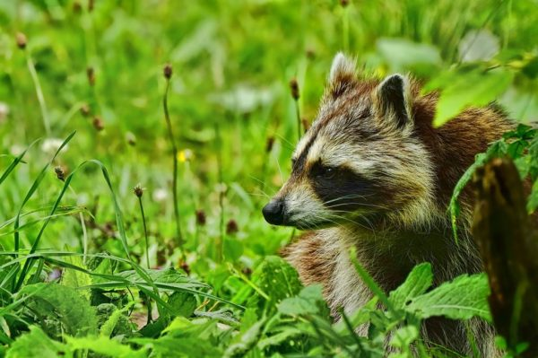 3 Signs You Have a Raccoon in Your Basement | Wildlife ...